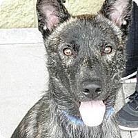 Adopt A Pet :: Koda - Gilbert, AZ