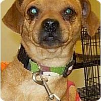Adopt A Pet :: HP Pug - Lucerne Valley, CA
