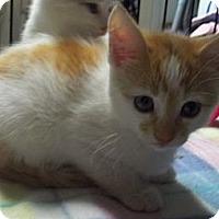 Adopt A Pet :: Orange & White Girl - Acme, PA