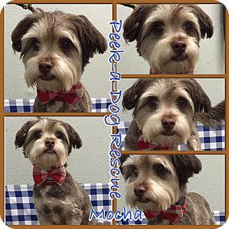 Maltese/Poodle (Miniature) Mix Dog for adoption in South Gate, California - Mocha