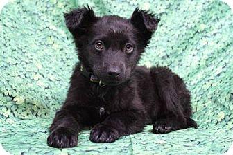 Australian Shepherd/Labrador Retriever Mix Puppy for adoption in Westminster, Colorado - Catlyn