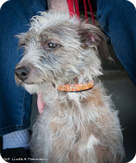 Chinese Crested Mix Dog for adoption in Loudonville, New York - Ruby