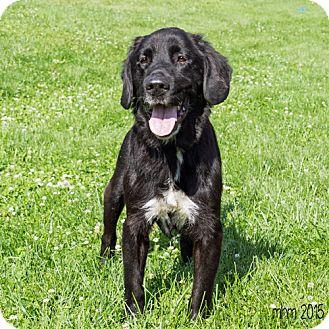 Labrador Retriever Mix Dog for adoption in Naperville, Illinois - Brutus