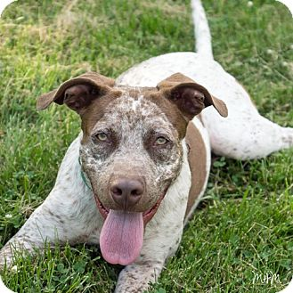 German Shorthaired Pointer/Boxer Mix Dog for adoption in Naperville, Illinois - Zippy