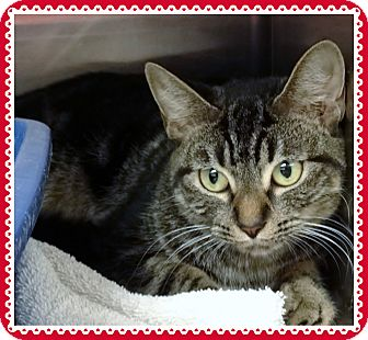 Domestic Shorthair Cat for adoption in Marietta, Georgia - AUTUMN (R)