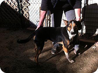 Basenji Mix Dog for adoption in Shelter Island, New York - Noodle