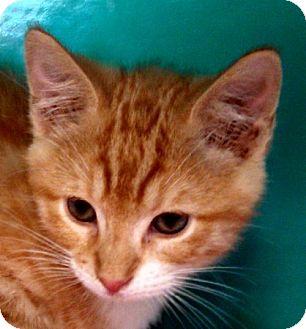 Domestic Shorthair Kitten for adoption in Maquoketa, Iowa - Fonzie