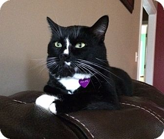Domestic Shorthair Cat for adoption in Nashville, Tennessee - Nascar