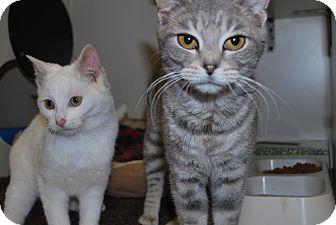 Domestic Shorthair Kitten for adoption in New Castle, Pennsylvania - Juniper