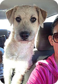 Wheaten Terrier Mix Dog for adoption in Encino, California - Brooklyn