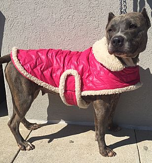 Pit Bull Terrier/Staffordshire Bull Terrier Mix Dog for adoption in Mount Pleasant, South Carolina - Trixie