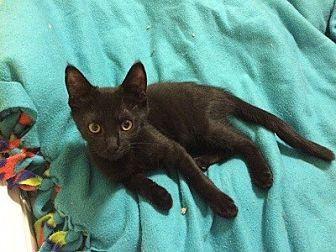 Domestic Shorthair Kitten for adoption in Burbank, California - Lennox
