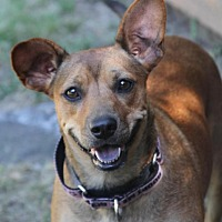 Feist Mix Dog for adoption in Wayne, New Jersey - Ginger Snap