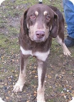 Labrador Retriever Mix Dog for adoption in Voorhees, New Jersey - Clayburn