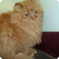 Domestic Longhair Cat for adoption in Montello, Wisconsin - Muffy