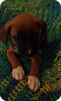 Terrier (Unknown Type, Small)/Corgi Mix Puppy for adoption in El Paso, Texas - Alvin