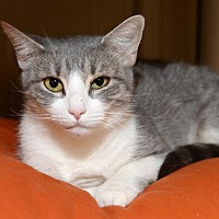 Adopt A Pet :: Miley - Whitehall, PA