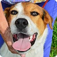 Retriever (Unknown Type)/Hound (Unknown Type) Mix Dog for adoption in Ahoskie, North Carolina - Payton
