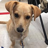 Adopt A Pet :: Nuri - New Oxford, PA