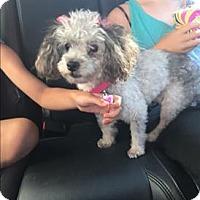 Adopt A Pet :: Dolly - Encino, CA