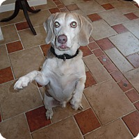Beagle Dog for adoption in Millerstown, Pennsylvania - SHILOAH