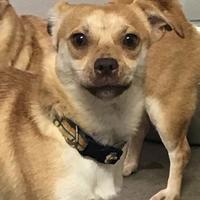 Adopt A Pet :: Pumpkin - Wellsville, NY