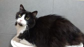 Domestic Longhair Cat for adoption in Boulder, Colorado - Racer