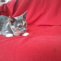 Adopt A Pet :: Shayla - Kinston, NC