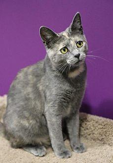 Domestic Shorthair Cat for adoption in Herndon, Virginia - Korra