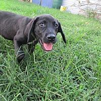 Adopt A Pet :: Sage - Baltimore, MD