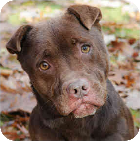 American Pit Bull Terrier/Labrador Retriever Mix Dog for adoption in Chicago, Illinois - Hope