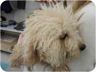 Poodle (Miniature) Dog for adoption in Lonedell, Missouri - Jesse