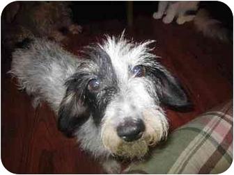 Dachshund Dog for adoption in Scottsdale, Arizona - Miriam