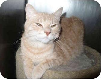 Domestic Shorthair Cat for adoption in Colmar, Pennsylvania - Sandy