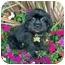 Photo 1 - Shih Tzu/Pekingese Mix Puppy for adoption in Los Angeles, California - ERICA