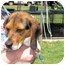 Photo 4 - Beagle Dog for adoption in Mahwah, New Jersey - Beethoven
