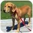 Photo 4 - Hound (Unknown Type)/Labrador Retriever Mix Puppy for adoption in Portsmouth, Rhode Island - Jolie