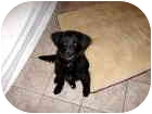 Labrador Retriever/Chow Chow Mix Puppy for adoption in Scottsdale, Arizona - Desperada