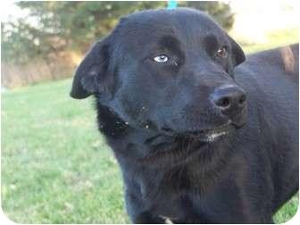 Labrador Retriever Mix Dog for adoption in Menasha, Wisconsin - Moragan