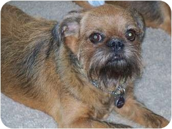 Brussels Griffon Dog for adoption in Mesa, Arizona - NESTLE in Tempe, AZ.