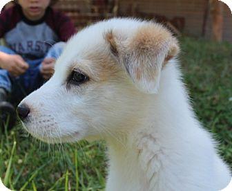 Labrador Retriever/Great Pyrenees Mix Puppy for adoption in Foster, Rhode Island - Nemo