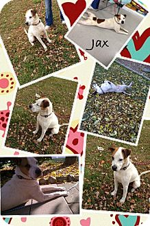Pointer/Field Spaniel Mix Dog for adoption in Macomb Twp, Michigan - Jax