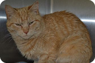 Domestic Shorthair Kitten for adoption in Elyria, Ohio - Adam