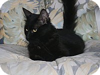 Domestic Longhair Cat for adoption in Tampa, Florida - Winnie