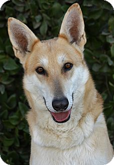 German Shepherd Dog Mix Puppy for adoption in Los Angeles, California - Loni von Lorig