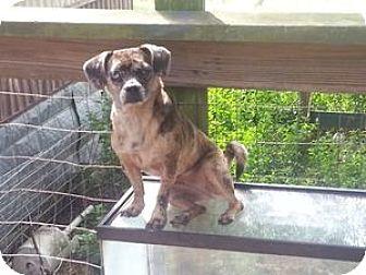 Dachshund/Pug Mix Dog for adoption in Houston, Texas - Puppies 1