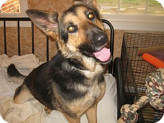 German Shepherd Dog Dog for adoption in Portland, Maine - Berlin