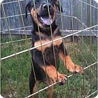 Adopt A Pet :: Sasha - Arlington, TX
