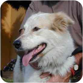 Australian Shepherd Mix Dog for adoption in Berkeley, California - Bishop