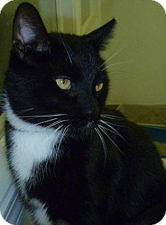 Domestic Shorthair Cat for adoption in Hamburg, New York - Joey Kitty